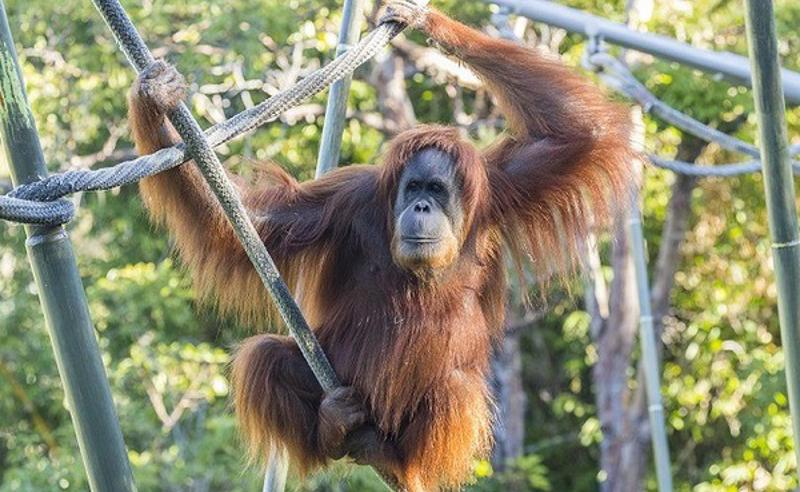 ამერიკაში მაიმუნებიც აცრეს