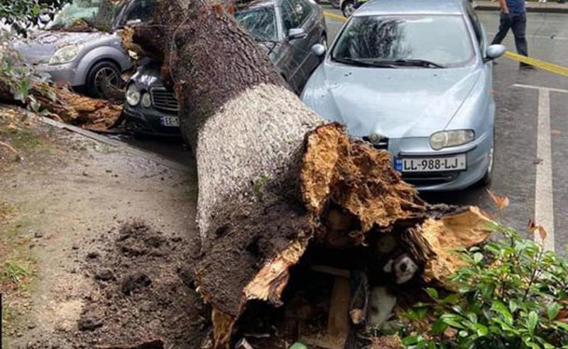 შემთხვევა ზუგდიდში -  ხის წაქცევის შედეგად მანქანები დაზიანდა