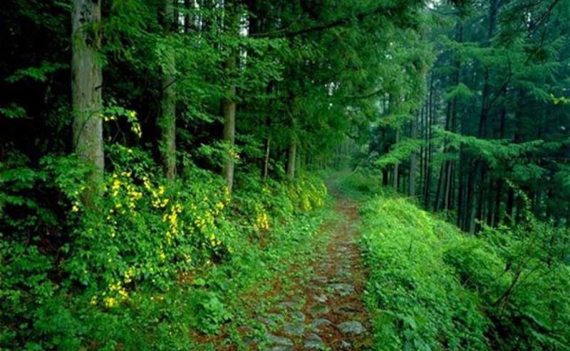 ტრაგედია ბორჯომში - ტყეში მამაკაცს ხე დაეცა და ადგილზე გარდაიცვალა